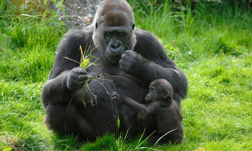 """Zapadne nizinske gorile su naši bliski rođaci, pa ipak njihov probavni sustav """"radi"""" na bazi bakterija, a ne kao u nas na bazi kiseline."""