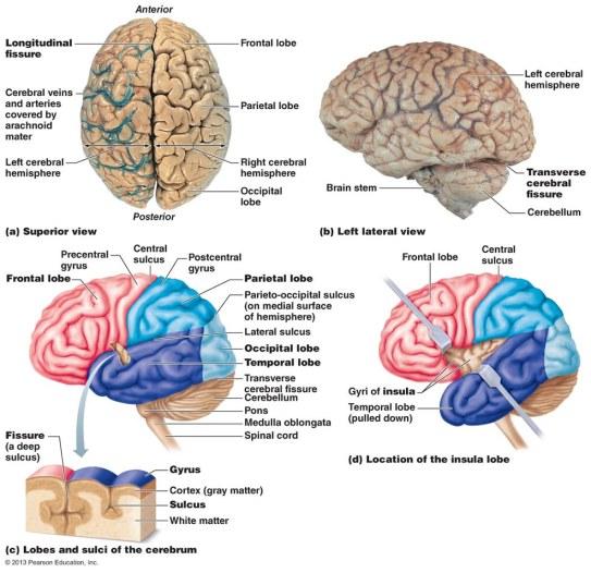 insula and cingulate