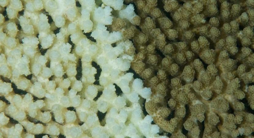 S lijeve strane vidite izbjeljeni bolseni i umirućikoralj, s desen strane vidite zdrave koralje sa svojim pokrovom od algi.