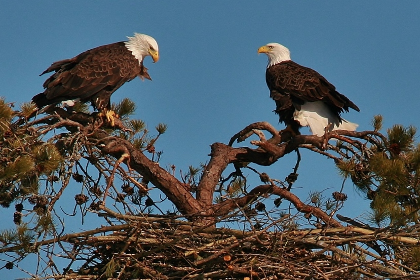 Orlovi grade gnijezda visoko na drveću.