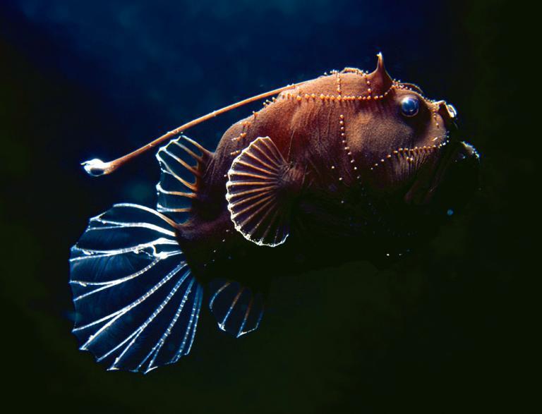 Vrsta jeden dubinske grdobine udičarke.