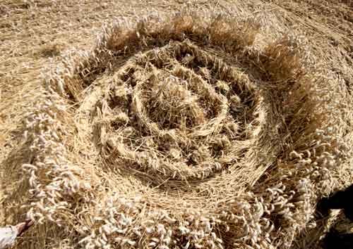 Nevjerojatan finiš krugova u žitu.