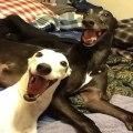 dva-nasmijana-psa