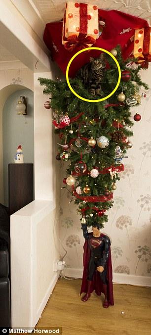 Iako je namjera vlasnika bila dobra, mačka se popela na božićne drvce iako ono visi s plafona.