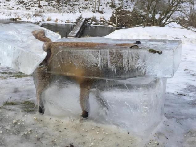 lisica-glavna
