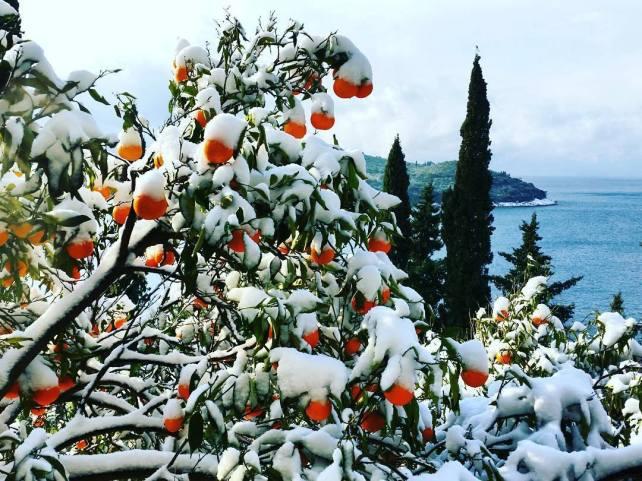 Mandarine prekrivene snijegom u okolici Dubrovnika.