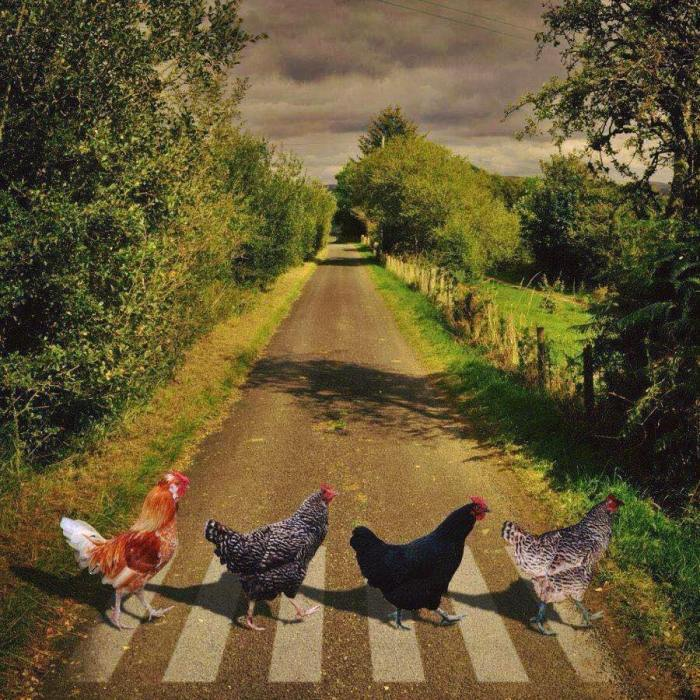 Смешни животни - Page 8 Zna-piletina-gdje-treba-prec487-cestu