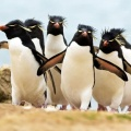 pingvinska banda