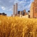 Polje pšenice 1982. u New Yorku i WTC blizanci u pozadini