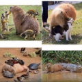 kapibari – najveći glodavac na svijetu
