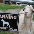 pravi pravcati pas čuvar ovaj koza