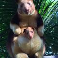 wallaby – nasmiješeni australski tobolčari