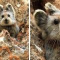 pika najrijeđi zec na svijetu živi u kini
