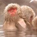 japanski sniježni majmun