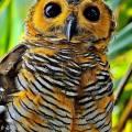 javanska pjegava sova jedna od najugroženiji ptičjih vrsta na svijetu